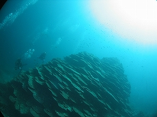 コブハマサンゴ