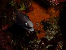 ウツボの幼魚